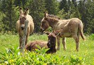 Sorties avec un âne